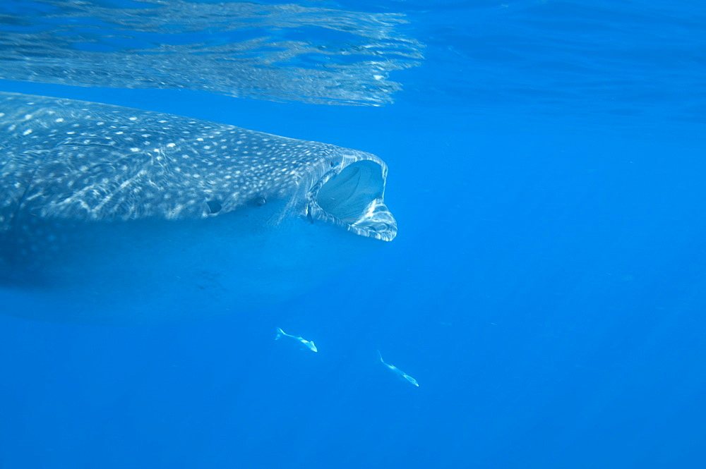 Whale shark (Rhincodon typus) feeding at the surface on zooplankton, mouth open, known as ram feeding, Yum Balam Marine Protected Area, Quintana Roo, Mexico, North America