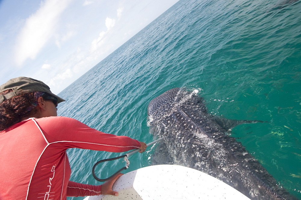 Biologist taking skin sample from a whale shark to determine what plankton types the animal has been feeding on, Yum Balam Marine Protected Area, Quintana Roo, Mexico, North America - 465-3251