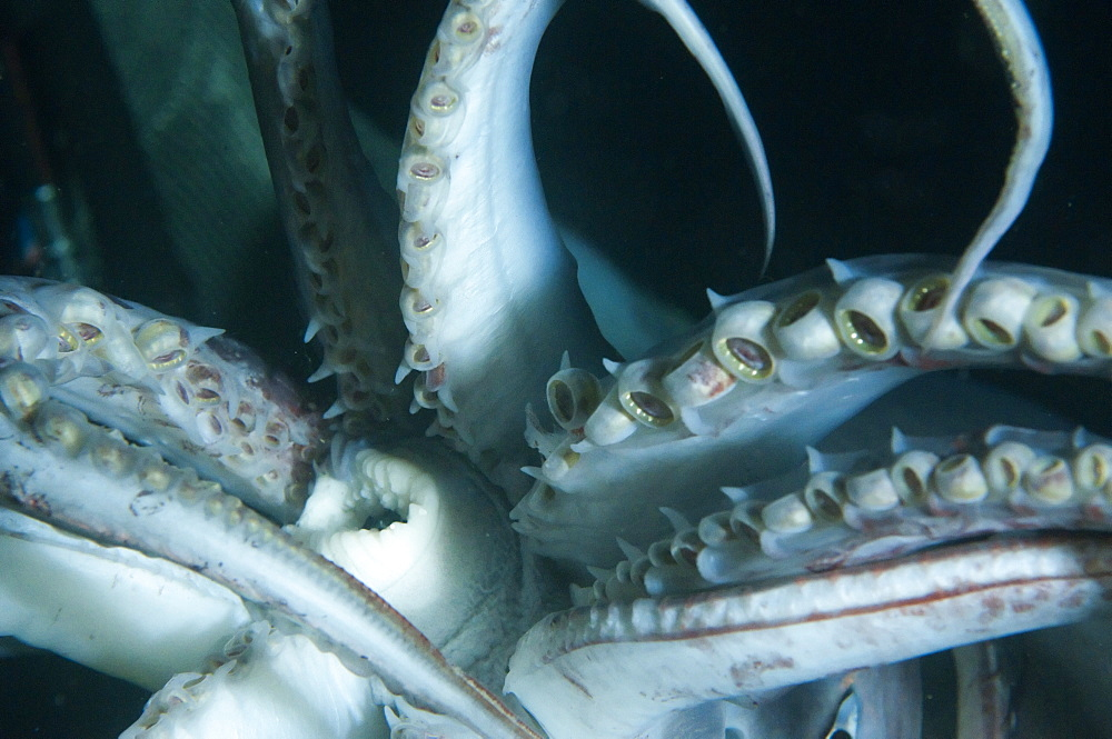 Buccal cavity (mouth) and tentacles of Humboldt (Jumbo) squid (Dosidicus gigas), Gulf of California, Baja California, Mexico, North America