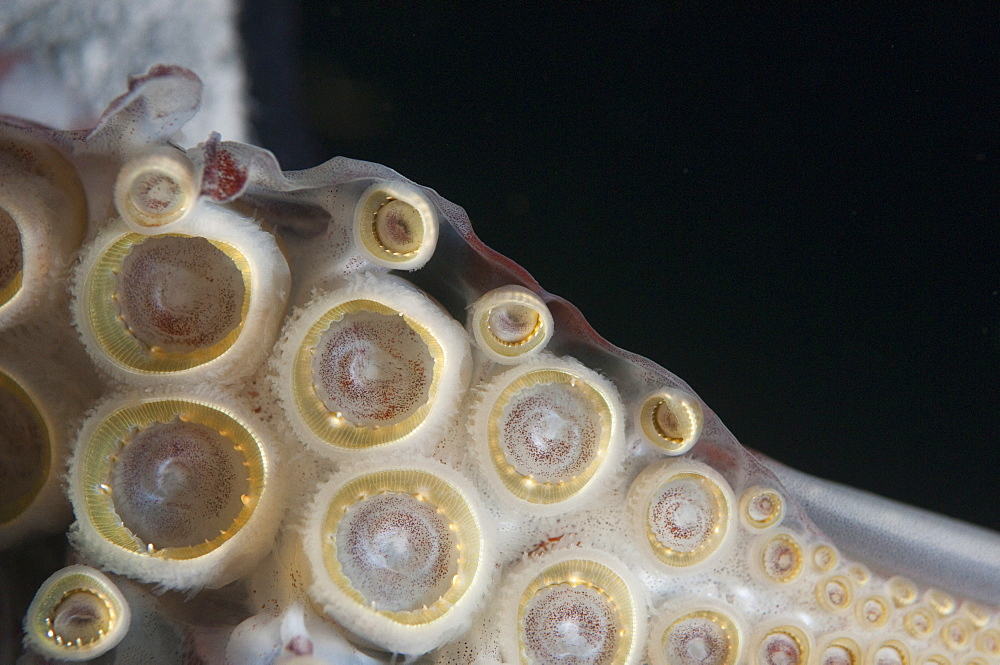 Closeup of suckers and teeth rings on the tentacles of Humboldt (Jumbo) squid (Dosidicus gigas), Gulf of California, Baja California, Mexico, North America