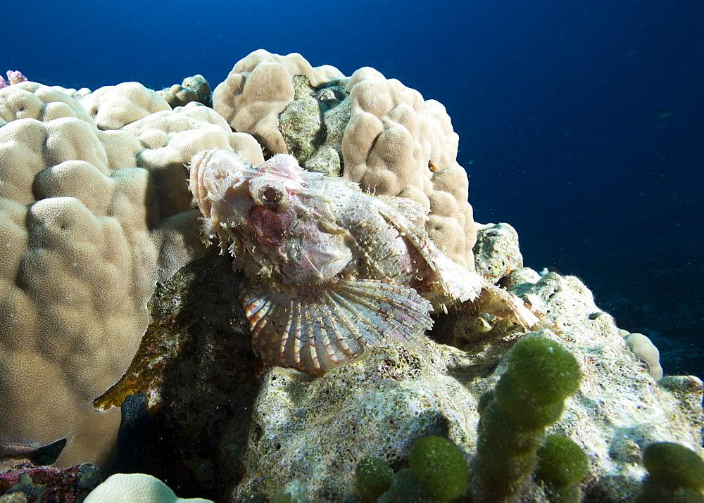Small scale scorpionfish (Scorpaenopsis oxycephala) (Tassled scorpionfish) in the Red Sea, Marsa Alam, Egypt, North Africa, Africa