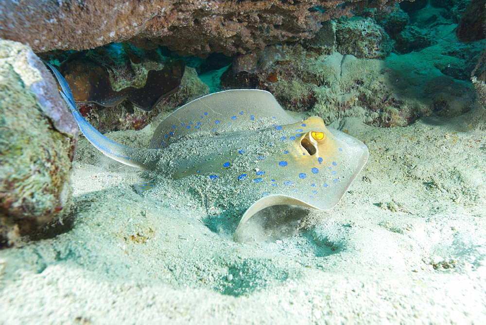 Blue spotted ribbontail ray (Taeniura lemma) feed on small creatures under the sand in the Red Sea, Marsa Alam, Egypt, North Africa, Africa