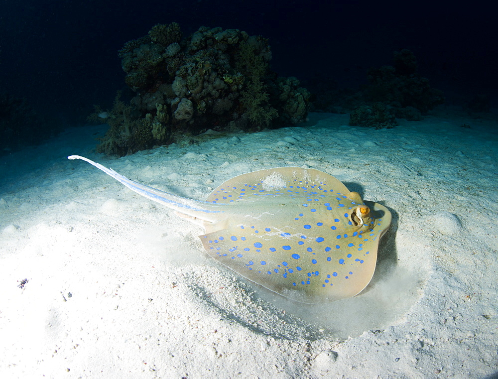 Blue spotted ribbontail ray (Taeniura lemma) feeds on small creatures under the sand, using its wings to stir up the sand, Marsa Alam, Egypt, North Africa, Africa