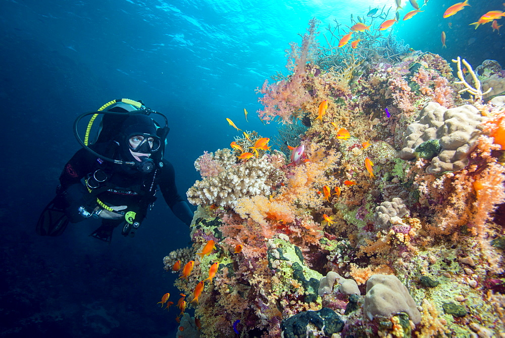 Diver and hard and soft coral reef and lyre tail anthias (Pseudanthias squamipinnis), Marsa Alam, Egypt, Red Sea, North Africa, Africa
