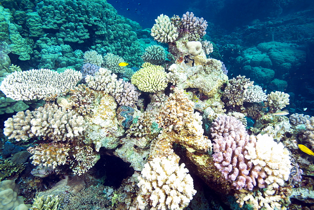 Typical healthy Red Sea hard coral reef landscape, Marsa Alam, Egypt, North Africa, Africa