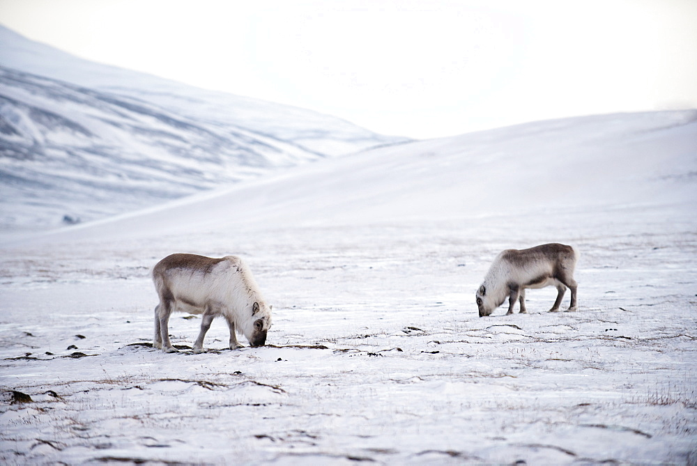 Svalbard reindeer (Rangifer taradus spp. platyrhynchus) grazing in winter, digging to the lichens and grasses below the snow, Svalbard, Arctic, Norway, Scandinavia, Europe