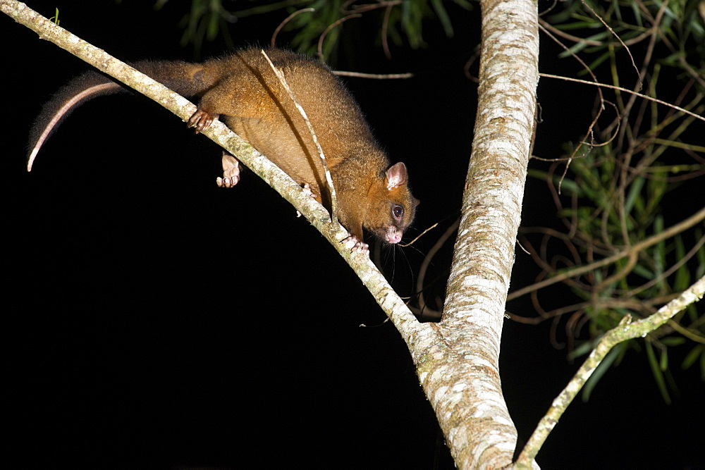 Coppery brushtail possum (Trichosurus vulpecula johnstonii), arboreal nocturnal rainforest possum endemic to Atherton Tablelands, Queensland, Australia, Pacific