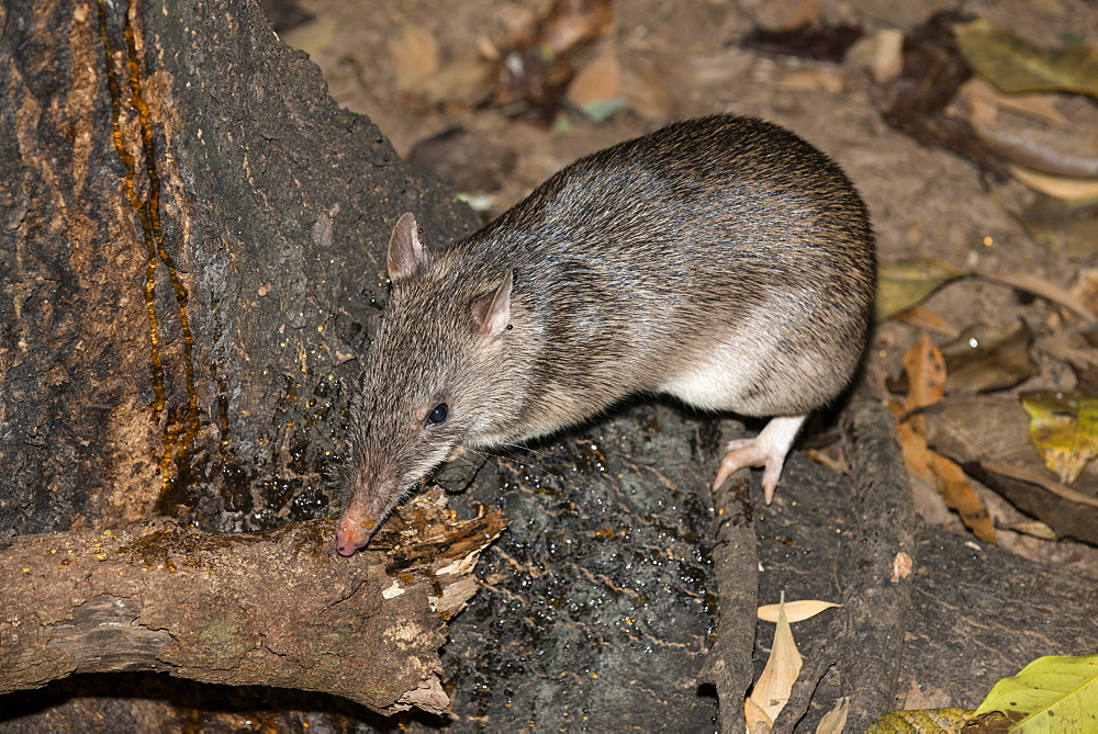 Long-nosed potaroo (Potorous tridactylus) a small rodent like marsupial sometimes known as rat-kangaroos, Queensland, Australia, Pacific