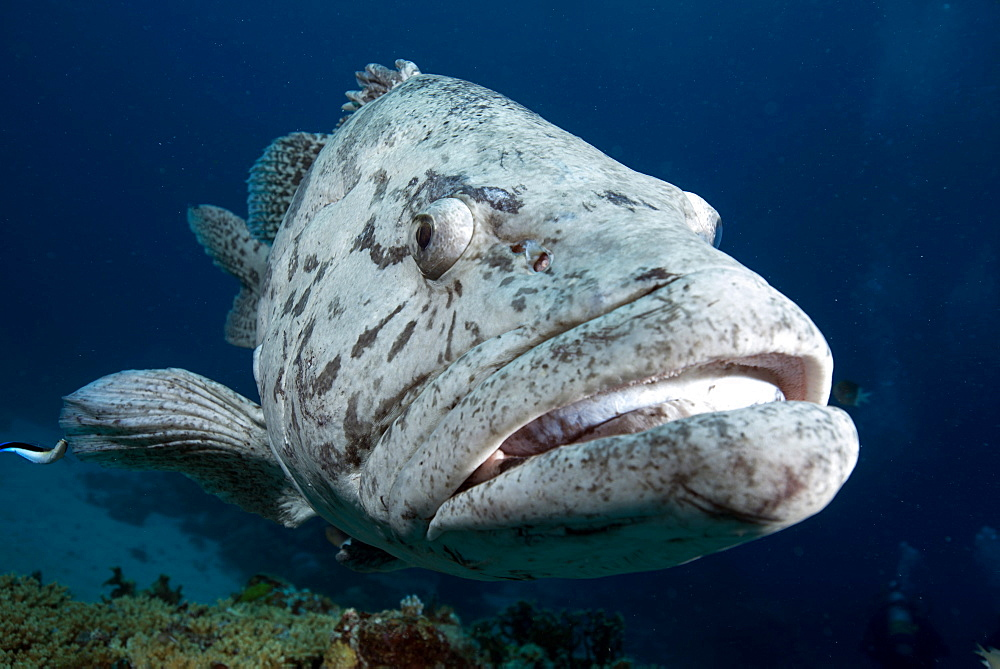Potato cod (Epinephelus tuku) (potato grouper) (potato bass), Cod Hole, North Ribbon reef, Great Barrier Reef, Queensland, Australia, Pacific