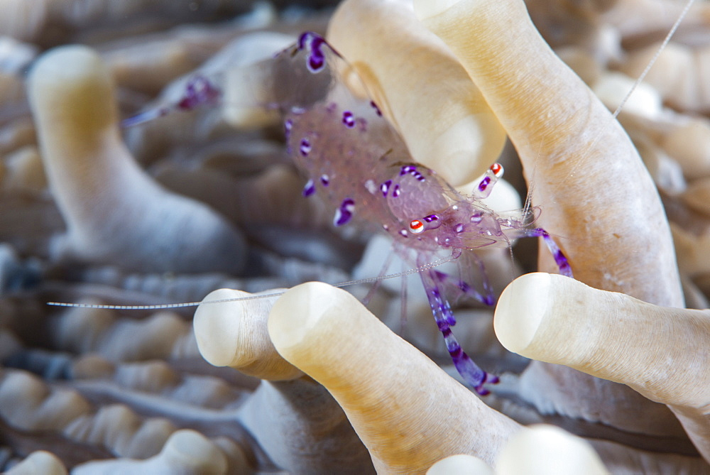 Anemone shrimp (Periclimenes holthuisi) in the tentacles of its host anemome, Queensland, Australia, Pacific