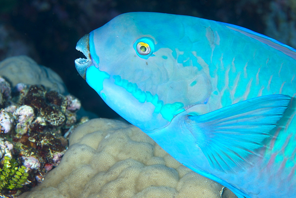 Indian steephead parrotfish (Scarus strongycephalus), beak open feeding, Queensland, Australia, Pacific