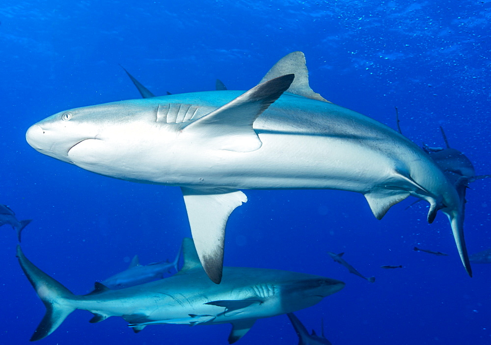 Whitetip reef shark (Triaenodon obesus) is a requiem shark in the genus Carcharinidae, Queensland, Australia, Pacific