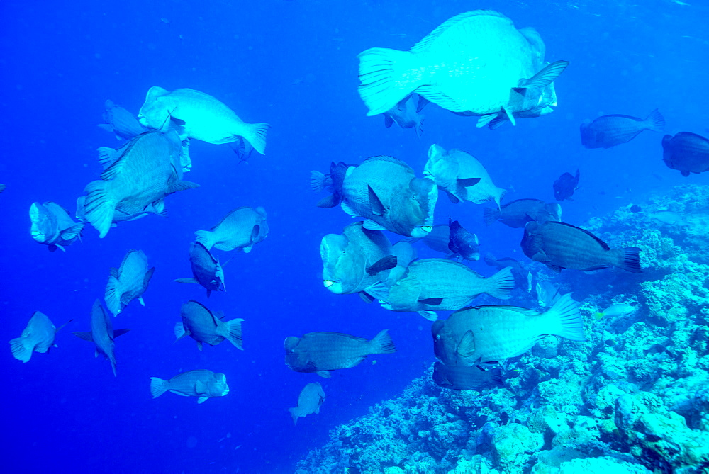 Bumphead parrotfish (Bolbometopon muricatum) schooling. Quensland, Australia, Pacific