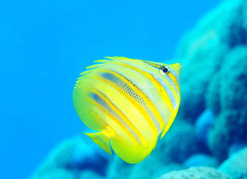Rainford's Butterflyfish (Chaetodon rainfordi), Cairns, Queensland, Australia, Pacific