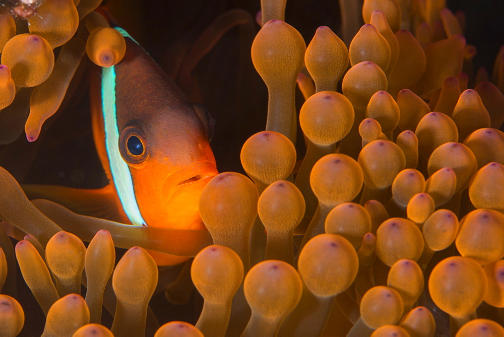 Dusky anenomefish (Amphiprion melanomas) dominant female, lives in symbiotic association with its host anemone, Matangi Island, Vanua Levu, Fiji, Pacific