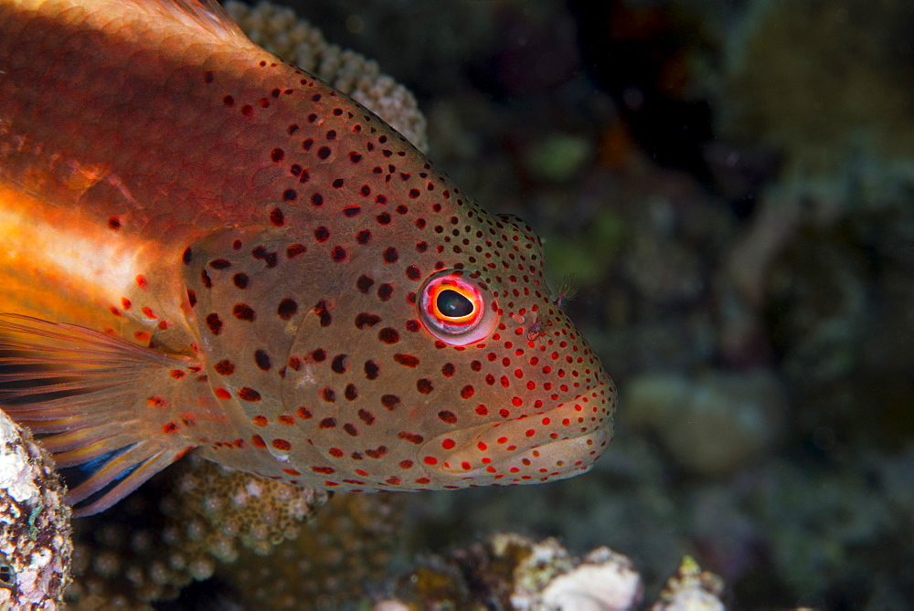 Freckled hawkfish (Paracirrhites forsteri) a reef fish that feeds on small fish and shrimps, Matangi Island, Vanua Levu, Fiji, Pacific