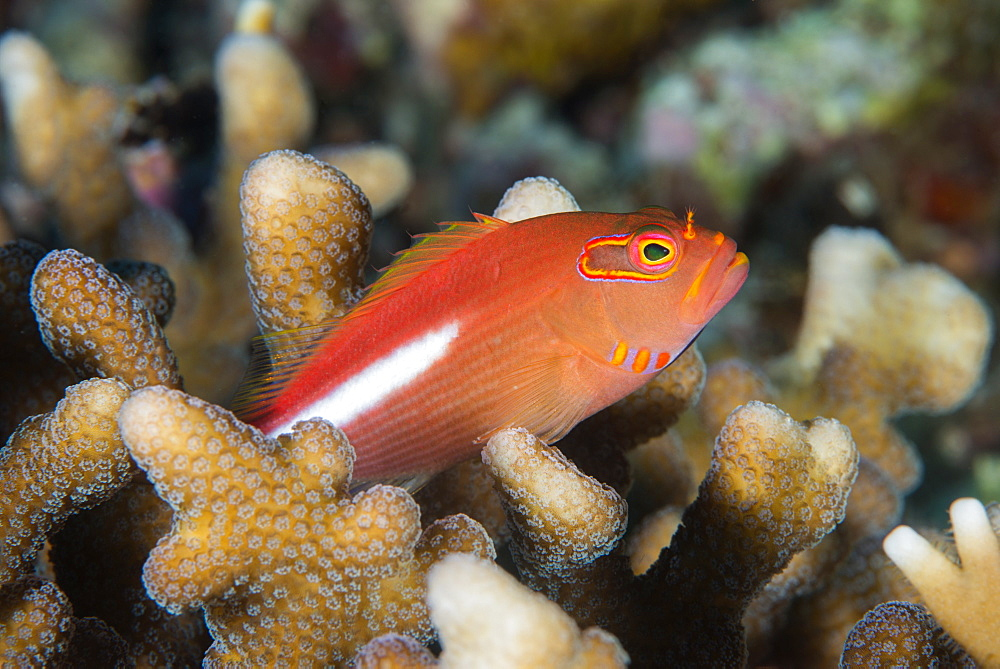 Arc-eye hawkfish (Paracirrhites arcatus), Matangi Island, Vanua Levu, Fiji, Pacific