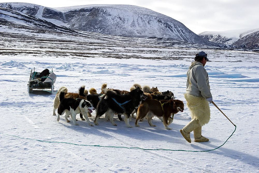 Inuit hunter walking his dog team on the sea ice, Greenland, Denmark, Polar Regions