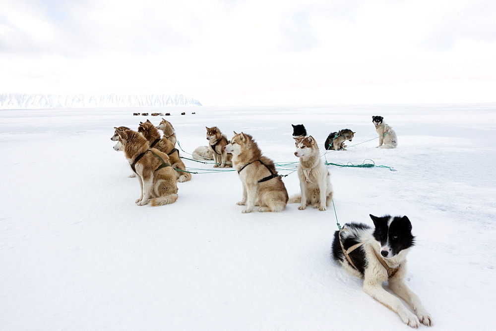 Greenlandic husky dog team staked to the ice near the floe edge in midnight sun, Greenland, Denmark, Polar Regions