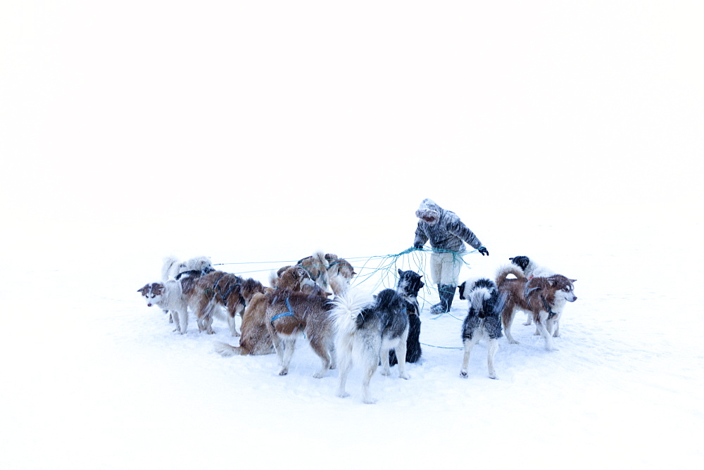 Inuit hunter untangling the lines on his dog team on the sea ice in a snow storm, Greenland, Denmark, Polar Regions