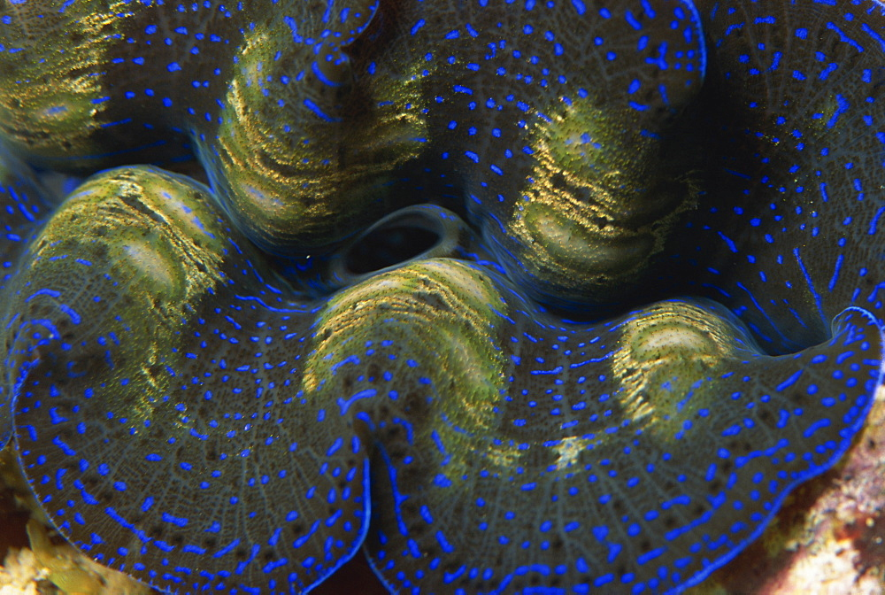 Close-up of the mantle and siphon of giant clam, Sabah, Malaysia, Borneo, Southeast Asia, Asia