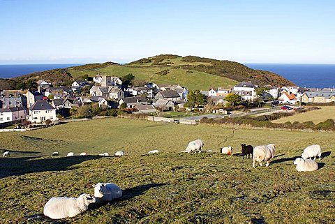 Grazing sheep, Mortehoe, Devon, England, United Kingdom, Europe