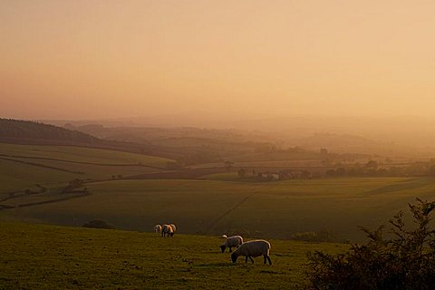 Sheep at sunset, near Sidmouth, Devon, England, United Kingdom, Europe