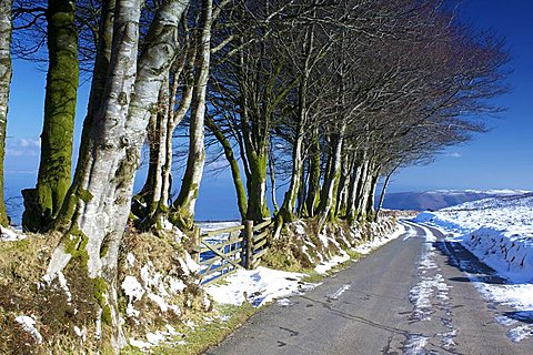 Beech trees in snow above Porlock, Exmoor National Park, Somerset, England, United Kingdom, Europe