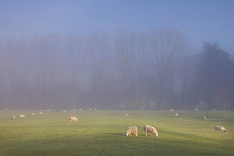 Misty trees, and sheep,  Exe Valley, Devon, England, United Kingdom, Europe
