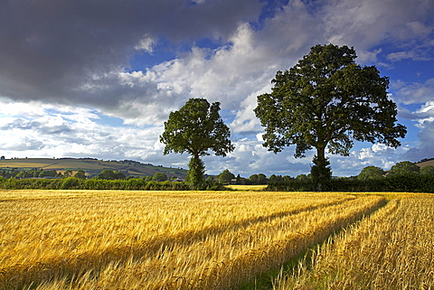 Cornfields, Exe Valley, Devon, England, United Kingdom, Europe