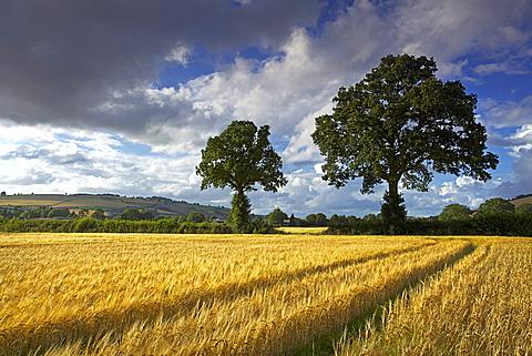 Cornfields, Exe Valley, Devon, England, United Kingdom, Europe