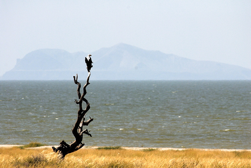 Fish eagle, Lake Turkana, Kenya, East Africa, Africa