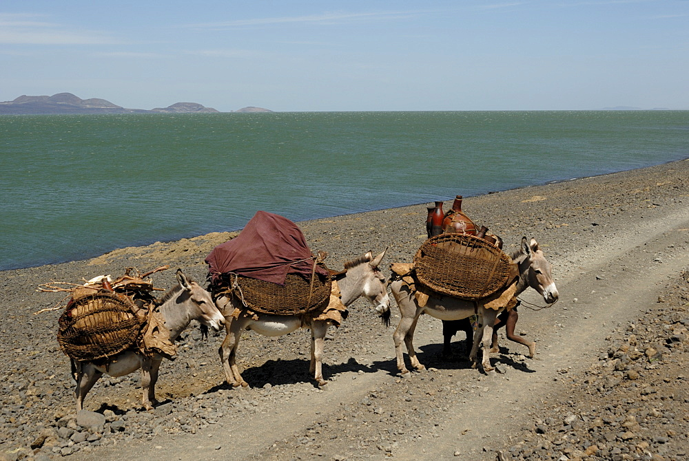Donkeys, Lake Turkana, Kenya, East Africa, AFrica