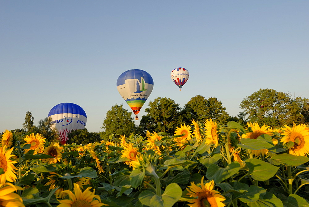 Hot air ballooning over fields of sunflowers in the early morning, Charente, France, Europe