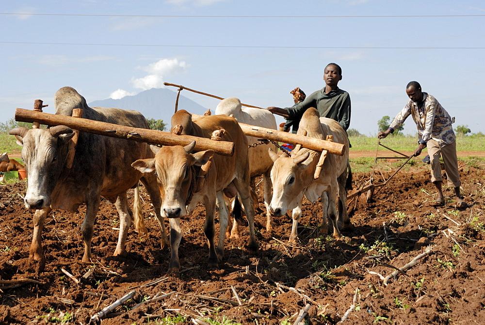 Ox plough, Mount Babati, Hanang, Tanzania, East Africa, Africa