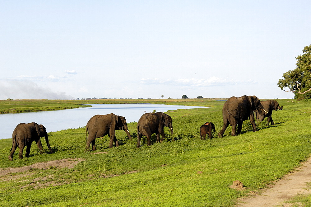 Elephants on river bank, Chobe National Park, Botswana, Africa