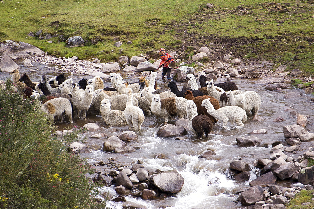 Herding alpacas and llamas through a river in the Andes, Peru, South America