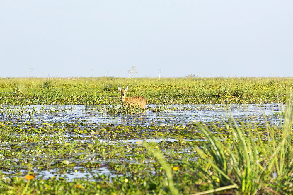 Rare pampas deer grazing in swamp, Ibera National Park, Argentina, South America