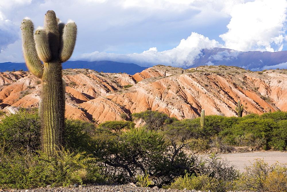Candelabra cactus, Valle Tin Tin, Los Cardones Park, Argentina, South America