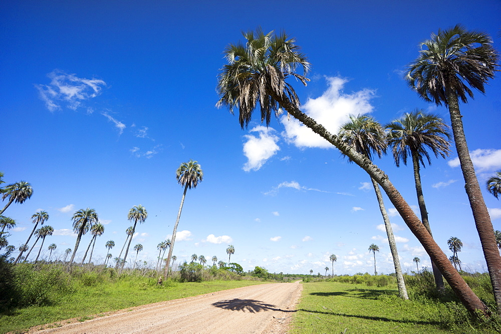 El Palmar Parque National, where the last palm yatay can be found, Argentina, South America