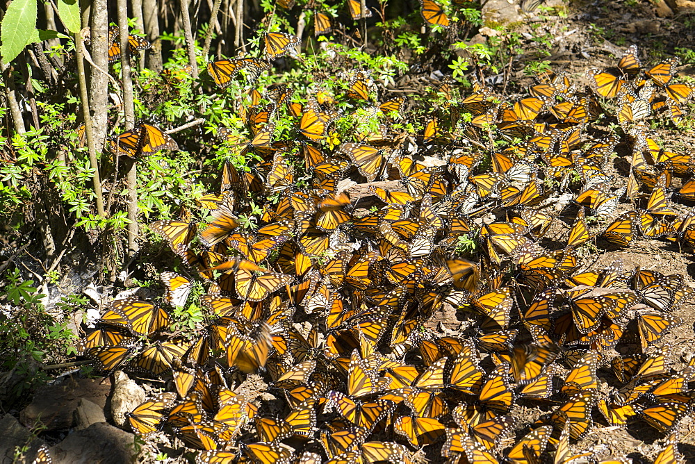 Cerro Pelon Monarch Butterfly Biosphere, UNESCO World Heritage Site, Mexico, North America - 483-2043