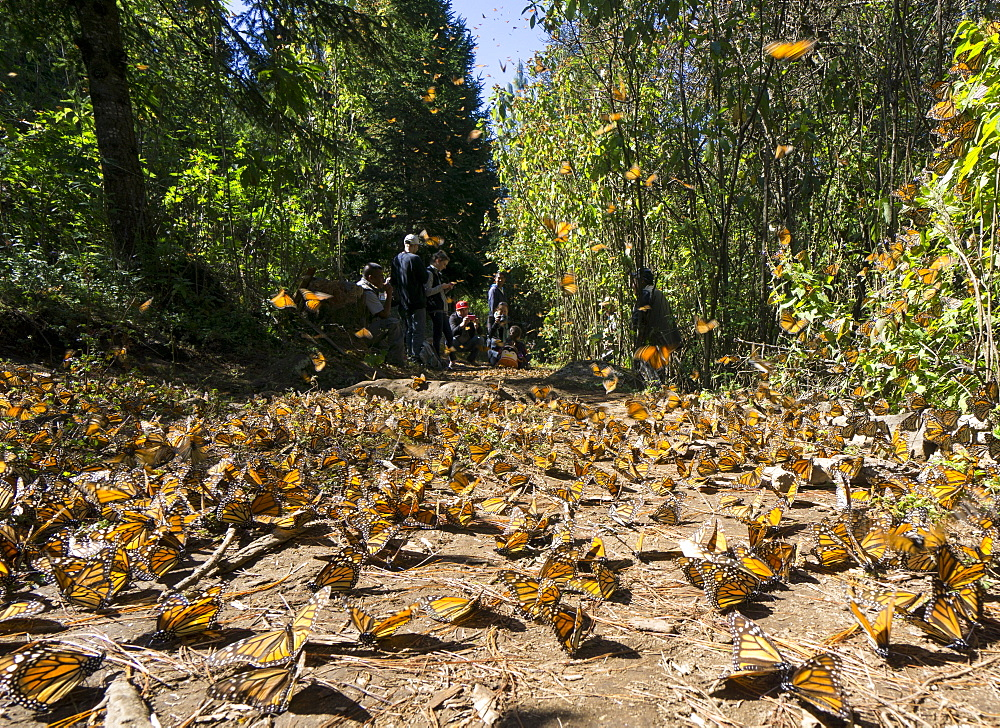 Cerro Pelon Monarch Butterfly Biosphere, UNESCO World Heritage Site, Mexico, North America - 483-2046