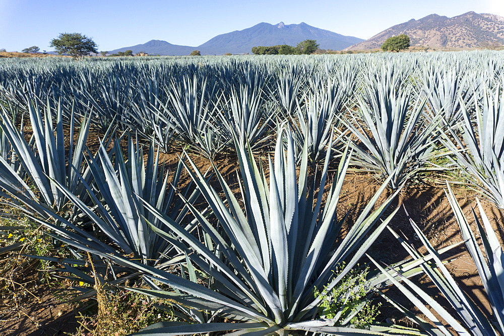 Tequila is made from the blue agave plant in the state of Jalisco and mostly around the city of Tequila, Jalisco, Mexico, North America - 483-2050