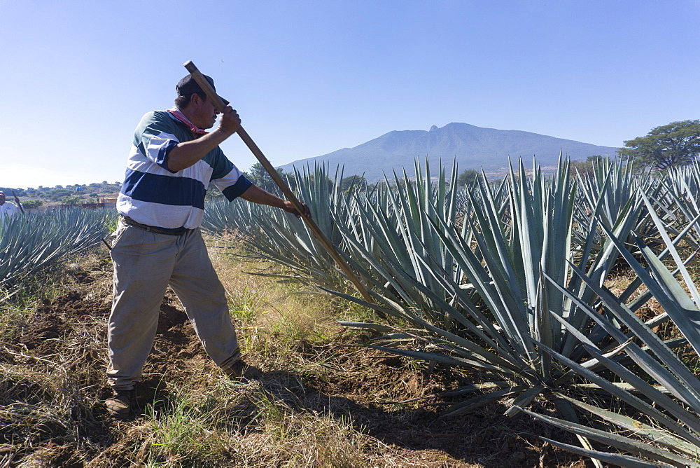 Tequila is made from the blue agave plant in the state of Jalisco and mostly around the city of Tequila, Jalisco, Mexico, North America - 483-2051