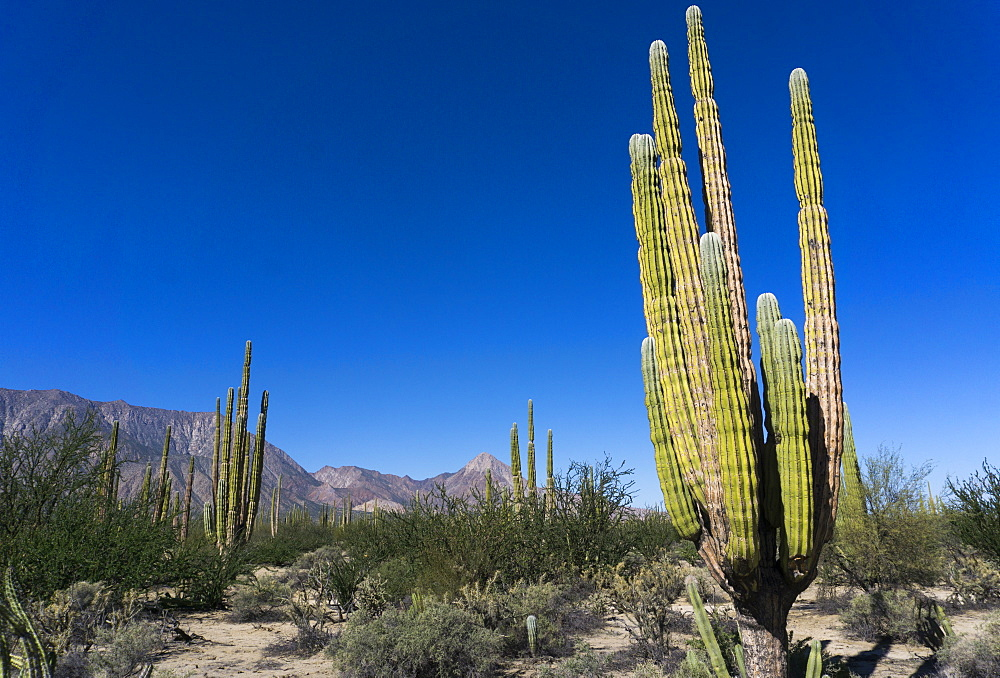 Cacti in dry desert like landscape, Baja California, Mexico, North America
