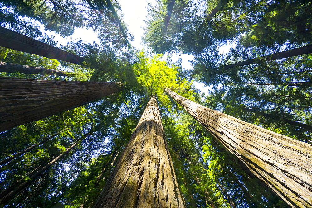 Redwood State Park, UNESCO World Heritage Site, California, United States of America, North America - 483-2116