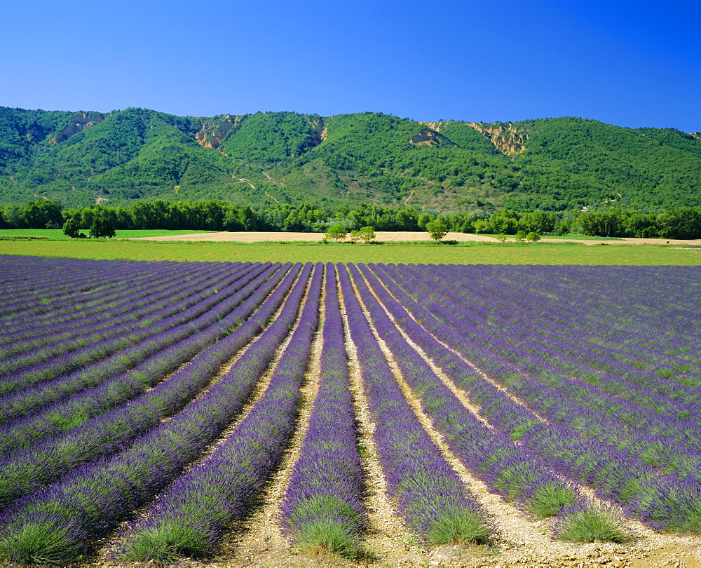 Lavender fields, Provence, France, Europe