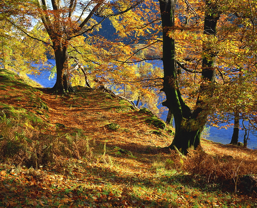 Autumn trees at Ullswater, Lake District National Park, Cumbria, England, United Kingdom, Europe - 485-8384