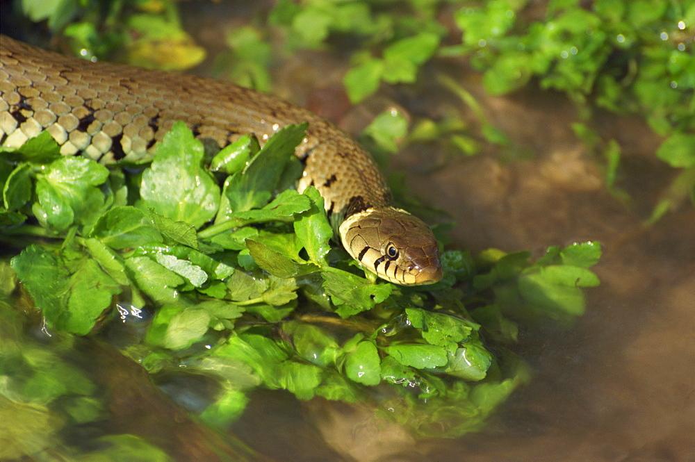 Grass snake in stream, Warwickshire, England, United Kingdom, Europe - 485-8884