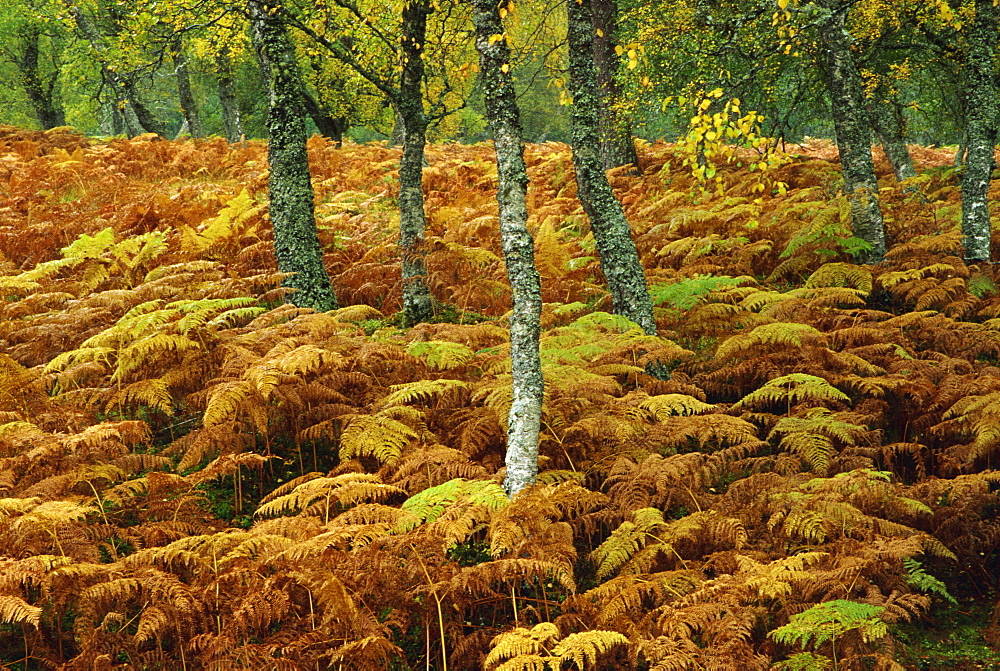 Birch trees and bracken in autumn, Glen Strathfarrar, Highlands, Scotland, United Kingdom, Europe - 485-9055